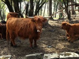 Les Highlands (vaches) de St-Triphon.