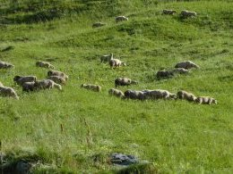 Moutons...