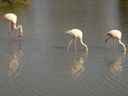 Flamants roses.