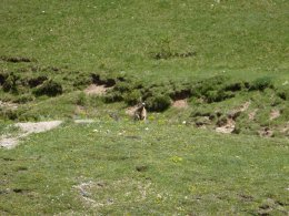 Marmottes 1/2