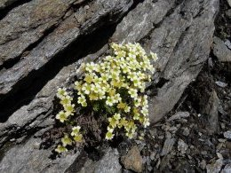 Saxifrages.