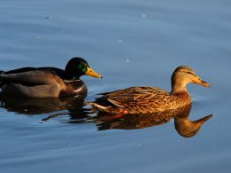 Un couple de canards colvert.