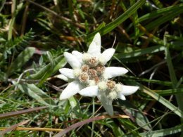 Edelweiss sous le col