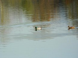 Couple de canards colvert.
