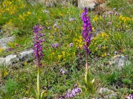 Orchis mascula (Orchis mâle)