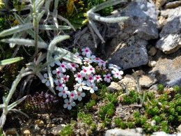 Androsace villosa (Androsace velue)
