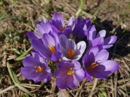Bouquet de crocus.