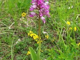 Orchis militaire.