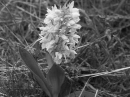orchis version monochrome