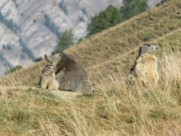 Famille Marmotte