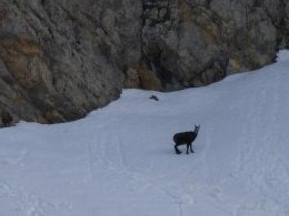 chamois solitaire