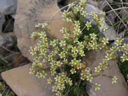 Saxifrages rudes