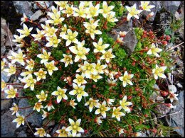 Saxifrages rudes.