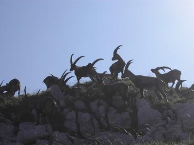 les grands mâles à grandes cornes sur Rocheherbe